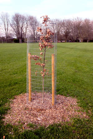sturdy: Dried young tree with sturdy cage