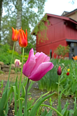 hobby hut: Red and purple tulips in the garden
