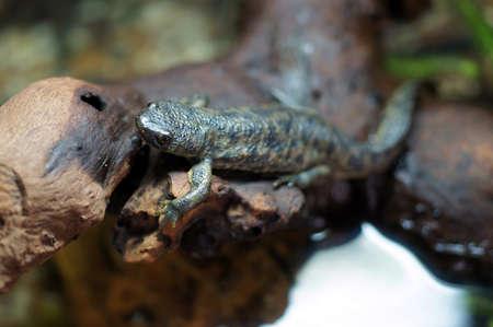 ribbed: Spanish Ribbed newt