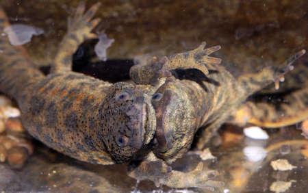 iberian: Corteggiamento di tritone iberica