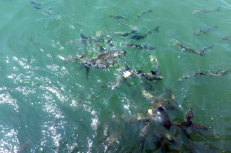 feeding frenzy: Fish herd eating bread in water Stock Photo