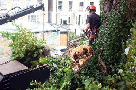 Worker cuts tree branches with a chainsaw on top of a tree in London. Editorial