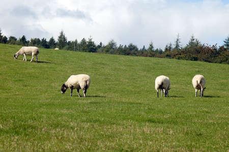 Sheep herd are feeding on grassland