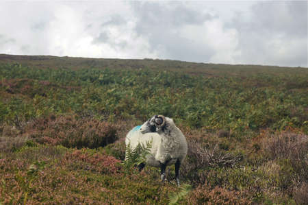 Single ram alone on field looking back