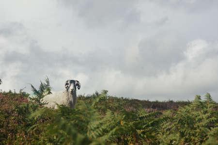 Curious ram alone on field looking at camera Zdjęcie Seryjne