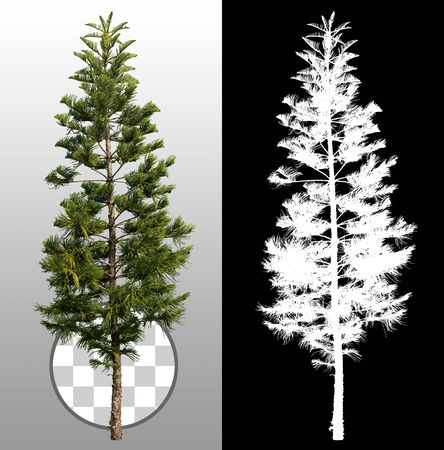 Cut out pine tree. Evergreen tree. Pine tree isolated on transparent background via an alpha channel. High quality clipping mask for professional composition.