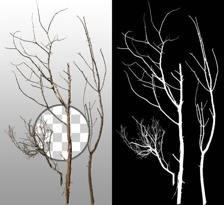 Cut out dead branches. Dry tree branch isolated on transparent background. Branch fallen to the ground. High quality clipping mask for professional composition. Banque d'images