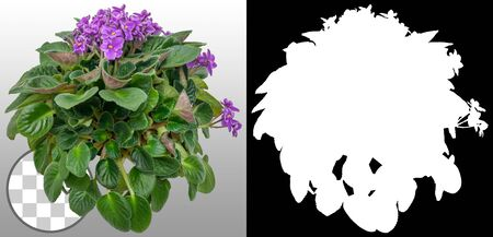 African violet. Cut out purple flowers. Flowers isolated on a transparent background via an alpha channel. Garden design. Flower bed for landscaping. High quality cutout for professional composition. 写真素材