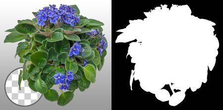 African violet. Cut out blue flowers. Flowers isolated on a transparent background via an alpha channel. Garden design. Flower bed for landscaping. High quality cutout for professional composition.