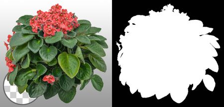 African violet. Cut out red flowers. Flowers isolated on a transparent background via an alpha channel. Garden design. Flower bed for landscaping. High quality cutout for professional composition.