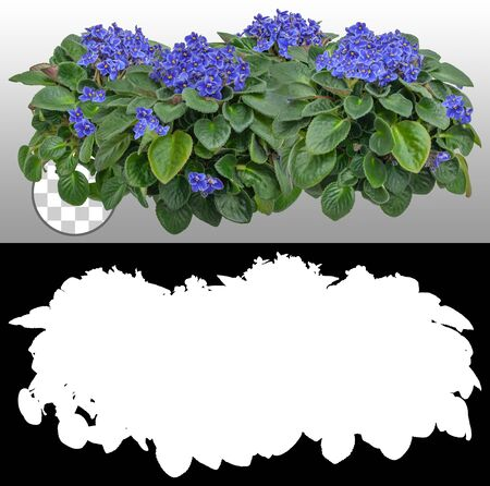 African flower. Cut out blue flowers. African violet. Pink flowers hedge isolated on a transparent background via an alpha channel. Garden design. Flower bed for landscaping. High quality cutout for professional composition.
