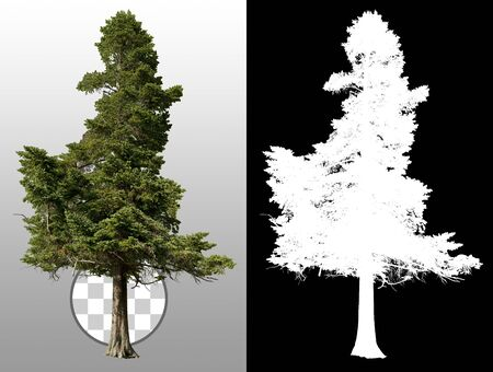 Pine tree isolated. Spruce tree. Evergreen tree isolated on a transparent background via an alpha channel. High quality clipping mask for professional composition
