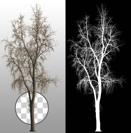 Cut dead tree without leaves. Bare tree without leaves. Dead tree isolated on a transparent background via an alpha channel. High quality clipping mask for professional composition. Stock Photo