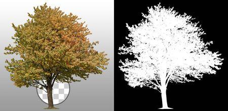 Albero tagliato in autunno. Albero isolato su sfondo trasparente tramite un canale alfa. Albero colorato in autunno. Maschera di ritaglio di alta qualità per composizioni professionali.