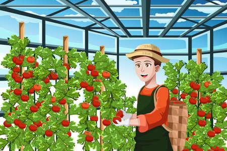 Een vector illustratie van een gelukkige boer oogsten tomaten in een kas Stock Illustratie