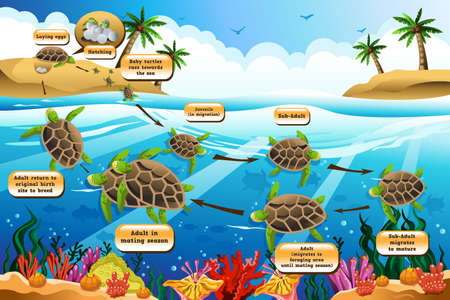 laying egg: A vector illustration of life cycle of the sea turtle