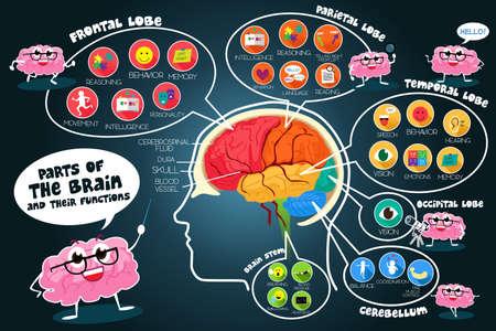 Een vector illustratie van de infographic onderdelen en functies van de hersenen