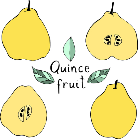 Vector illustration of apple quince. Hand drawn tropical fruits.