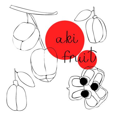 Vektor handgezeichnete Kunst von exotischen Früchten - aki. Aki ist eine gefährliche exotische Frucht, die Nationalfrucht Jamaikas. Blighia sapida.