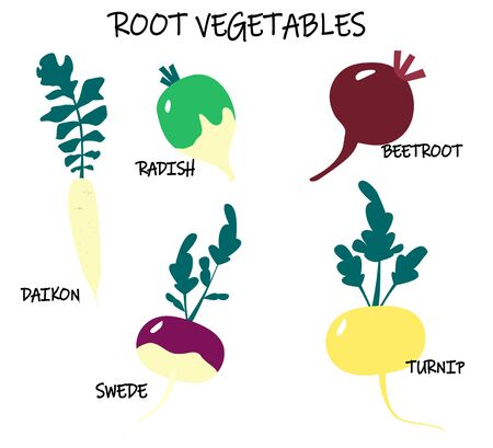 Vector collection of root-crop vegetables - turnip; swede; daikon; beetroot; radish. Seasonal food. Art can be used for packaging design element; menu design.