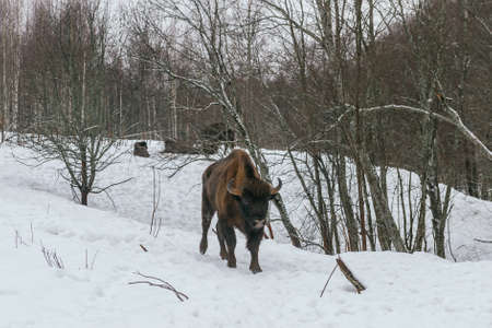 heavy snow: Feeding of European Bisons in National Park