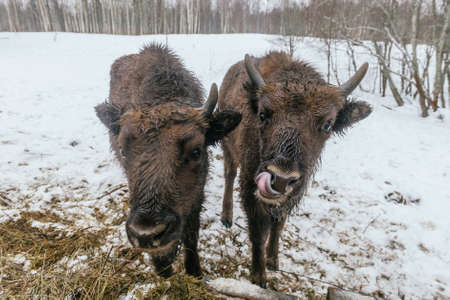 velours: Feeding of European Bisons in National Park