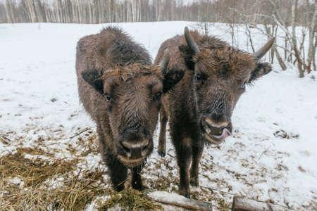 primaeval: Feeding of European Bisons in National Park