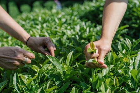 Hands Picking Tae Leaves In Tea-Garden