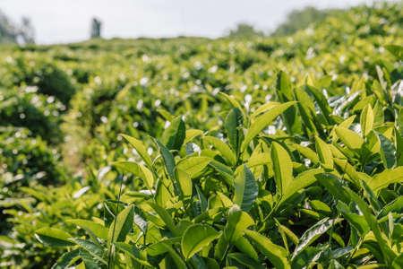 Tea Leaves in The Tea Plantations of Sochi