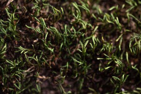 Green Wild Moss on a tree closeup macro