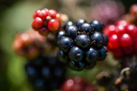 Ripe Black Forest Berries Raceme Closeup