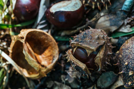Wwild Forest Chestnuts with Shell and Thorns Autumn Harvest 스톡 콘텐츠