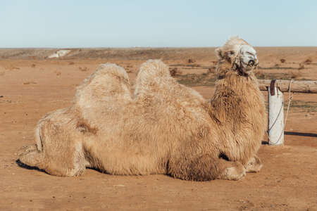 A Two-humped Camel Lies Tied to a Fence