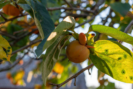An interesting variation of autumn seasonal fruit persimmon on the tree Фото со стока