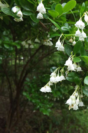 White Bell Shaped Flowers