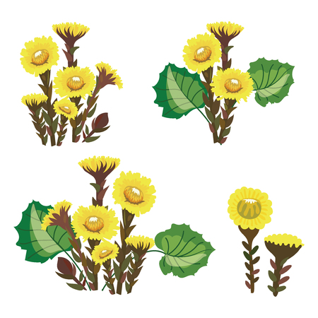 Set of tussilago. Collection of medicinal plants. Vector illustration of yellow flowers. Medical plant.