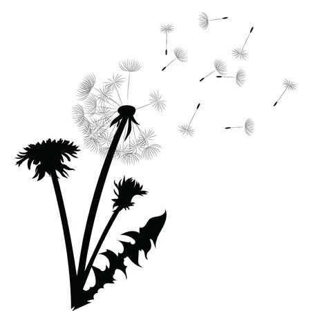 Silueta de un diente de León con semillas voladoras. Contorno negro de un diente de león. Ilustración en blanco y negro de una flor. Planta de verano. Ilustración de vector