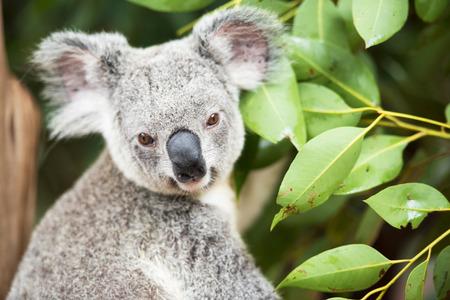 Koala by itself