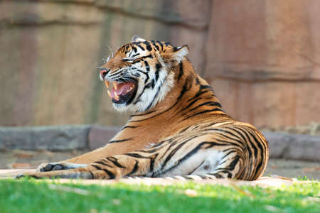 qld: Large Bengal Tiger by itself outdoors in the Sunshine Coast, QLD - Australia.