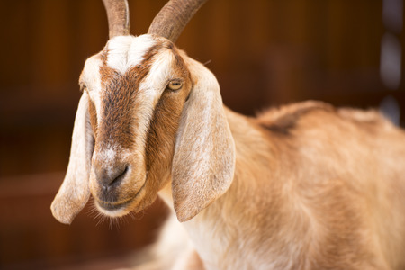 A goat by itself in a barn in Queensland. photo
