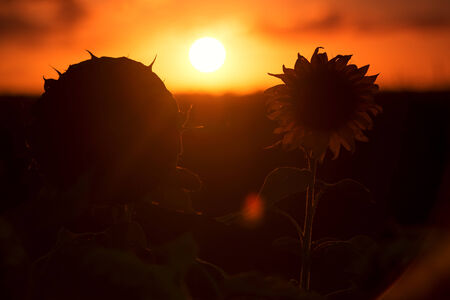 qld: Silhouette of sunflowers amongst a field in the afternoon in Queensland, Australia.