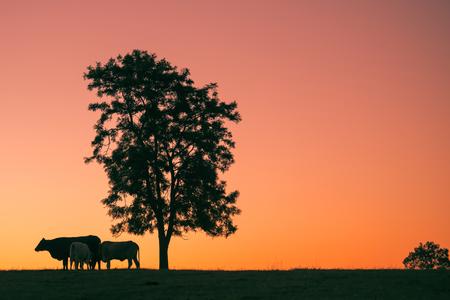 オーストラリア、クイーンズランド州の午後遅くに丘の上の牛のシルエット。