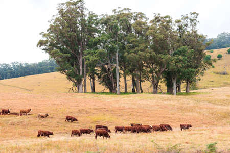heard: A heard of cows in the paddock during the day in Queensland