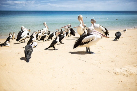 Pelicans and other birds resting on the beach during the day at Tangalooma Island in Queensland on the west side of Moreton Island. Stock Photo