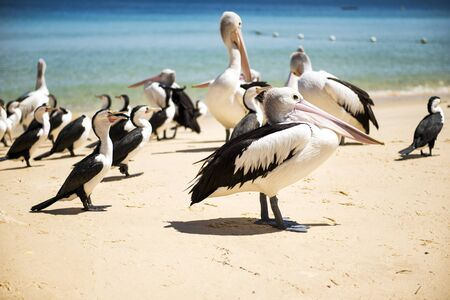 island: Pelicans and other birds resting on the beach during the day at Tangalooma Island in Queensland on the west side of Moreton Island. Stock Photo