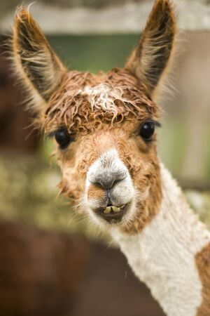 Alpaca by itself in a field during the day in Queensland Stock Photo