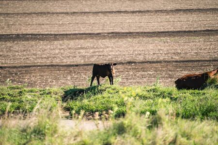 heard: Heard of cows in a paddock during the day in Queensland