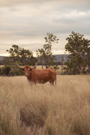 longhorn: Longhorn cow in the paddock during the afternoon in Queensland