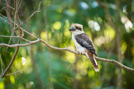 fisher animal: Kookaburra by itself in a tree during the day in Queensland