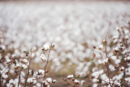cotton ball: Cotton fields ready for harvesting in Oakey, Queensland